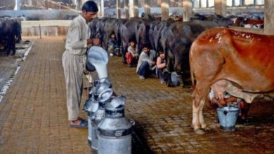 Photo of For dairy sector: Govt mulls zero-rated facility